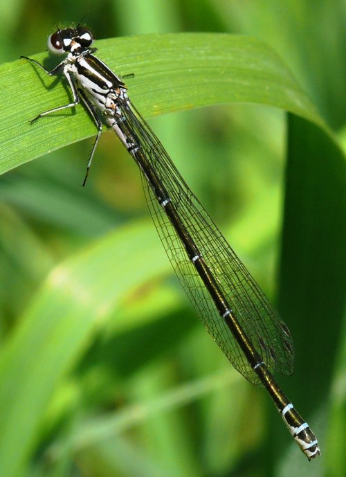 Coenagrion puella female